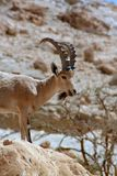 Ibex and bird ein gedi israel Royalty Free Stock Image