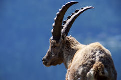 Ibex on blue background Royalty Free Stock Photography