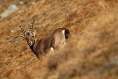 Ibex Capra Фото было принято в Италию Найдено в Южной Европе Стоковые Изображения RF