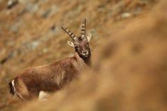 Ibex Capra Фото было принято в Италию Найдено в Южной Европе Стоковое Фото