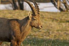 ibex capra Стоковое Фото