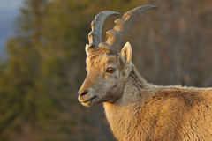 ibex capra Стоковое фото RF