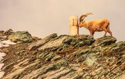 An ibex capra caucasica observes the tree trunk on the Gornergrat mountain cliff, Zermatt, Switzerland Stock Images