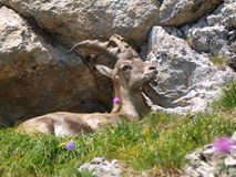 Ibex - Capra ibex in Alps Royalty Free Stock Photo