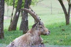 Ibex (Capra ibex) Stock Photo