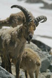 Ibex from caucasus Royalty Free Stock Image