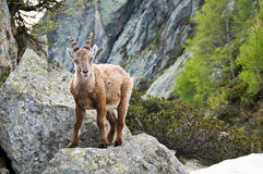 Ibex in Chamonix. An ibex in the mountain near Chamonix Royalty Free Stock Photography