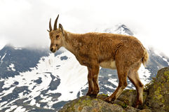 Ibex in Chamonix. An ibex in the mountain near Chamonix Stock Images