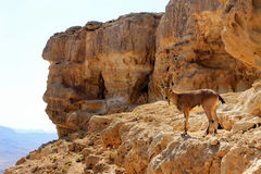 Ibex on the cliff Royalty Free Stock Image