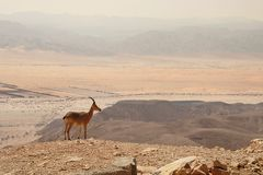Ibex on the cliff in desert. Ibex on the cliff at Ramon Crater (Makhtesh Ramon) in Negev Desert in Israel Royalty Free Stock Images