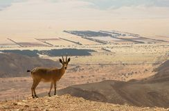 Ibex on the cliff in desert. Stock Photography