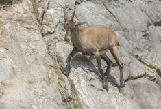 An ibex on a cliff. A lone Ibex on a cliff Royalty Free Stock Photo