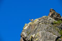 Ibex climb in the mountains against the blue sky royalty free stock photography