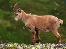 Ibex cub. In Aiguilles Rouges Reservation, France Royalty Free Stock Photos