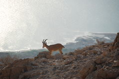 Ibex with the dead sea in the background Royalty Free Stock Images