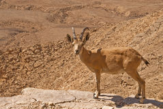 An Ibex and the desert Stock Images