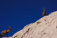 Ibex, Dolomites Royalty Free Stock Images