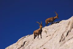 Ibex, Dolomites Stock Photography