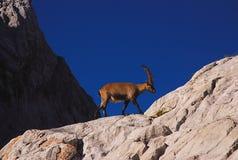 Ibex, Dolomites Stock Photo