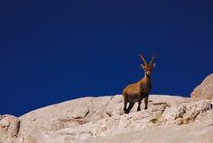 Ibex, Dolomites Stock Image