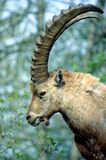 Ibex eating Stock Photography