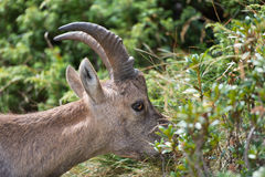 Ibex eating grass Royalty Free Stock Photo