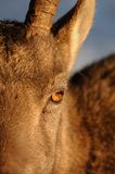 Ibex eyes Stock Photo