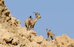 Ibex family Royalty Free Stock Photo