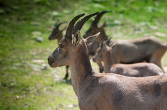 Ibex family Stock Photography