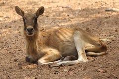 Ibex female, nile lechwe. Ibex female set on land, nile lechwe Royalty Free Stock Images