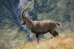 Ibex in Ferret Valley Stock Photo