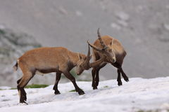 Ibex fight. A fight of two young males stock photos