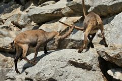 Ibex fight in the rocky mountain area. Wild animals in captivity. Two males fighting for females royalty free stock images