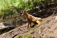 Ibex in the forest Stock Images