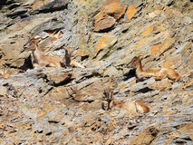 ibex för getter för caprakvinnlig fyra Royaltyfri Foto
