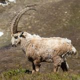 Ibex Square. An ibex in France. Square crop Royalty Free Stock Image