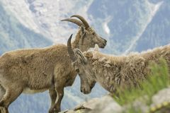 Ibex in the French Alps. Ibex in the French Alps Royalty Free Stock Images