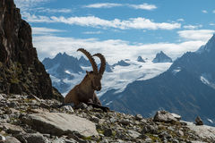 Ibex , French alps. Ibex alone, Range of Mont-Blanc , Haute Savoie , French alps Stock Photos