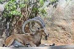 Ibex Goat Stock Image