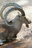 Ibex Goat Royalty Free Stock Photography