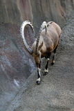 Ibex Goat. Ibex Mountain Goat With Curved Horns Waling Down Steep Rocks Stock Photo