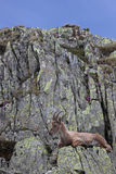 Ibex goat lying down in its natural habitat Royalty Free Stock Photography