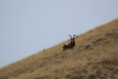 Ibex. Goat Mid-Asian on a grassy slope is, Capricorn Stock Photos