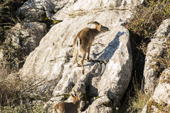 Ibex goat in rocky mountain Royalty Free Stock Images