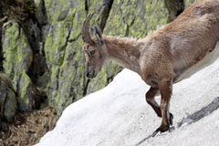 Ibex goat standing in its natural habitat Stock Photos