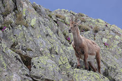 Ibex goat standing in its natural habitat Stock Photography