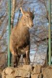 Ibex goat Stock Photo