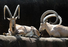 Ibex Goats. Nubian Ibex Goats Sitting In Front Of Black Background Stock Photos