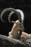 Ibex Goats. Nubian Ibex Goat Sitting In Front Of Black Background With Tongue Out Royalty Free Stock Photos