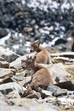Ibex or goats on mountain. Scenic view of two ibex or goats resting on rocky mountainside Stock Photos